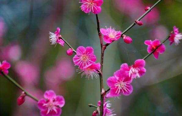 Картинка ветка, цветение, цветки, Абрикос японский