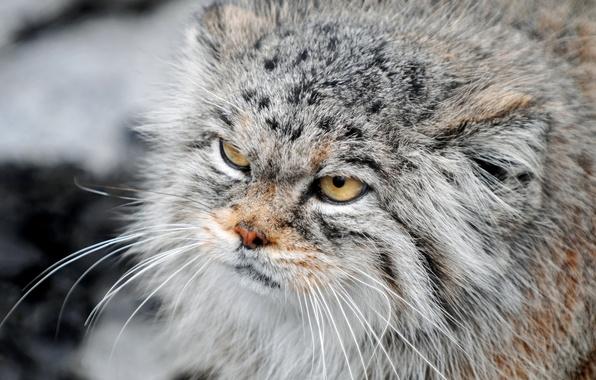Картинка кошка, взгляд, манул, суровый, пушистая