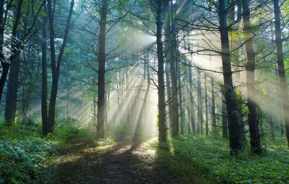Картинка лес, лето, солнце, лучи, свет, природа, тропа, утро