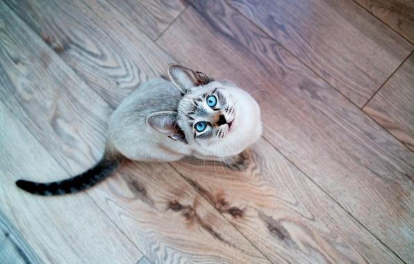 Картинка кот, взгляд, Кошка, мордочка, голубые глаза, сиамский