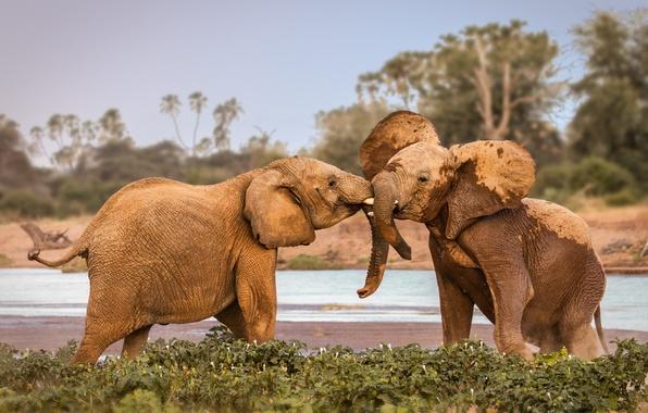 Картинка elephants, Africa, fighting, wildlife, Kenya, Samburu
