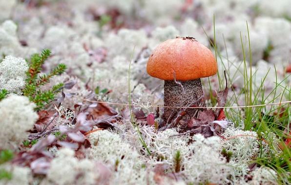 Картинка трава, макро, природа, гриб, мох, подосиновик
