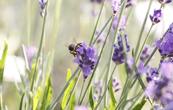 Картинка цветы, пчела, завтрак, фиолетовые, насекомое, лаванда