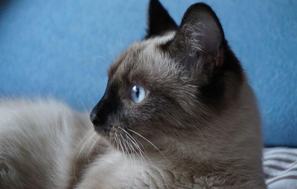 Картинка кошка, глаза, усы, взгляд, фон, красавица