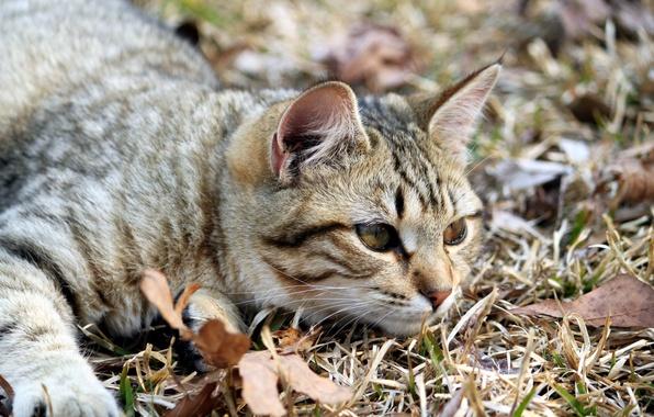 Картинка глаза, кот, взгляд, листья, природа, животное, лапки, мордочка, лежит, ушки