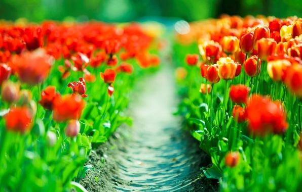 Картинка красный, тропа, весна, тюльпаны, red, tulips, плантация, plantation