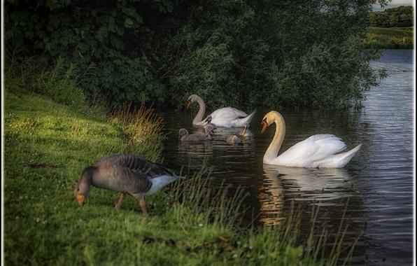 Картинка лето, трава, птицы, природа, озеро, берег, утки, лебеди, кусты