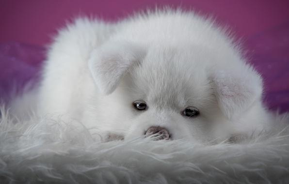 Картинка белый, взгляд, крупный план, фон, розовый, собака, щенок, лежит, мех, носик, мордашка, фотосессия, акита-ину, акита