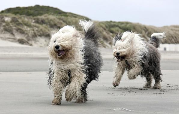 Картинка собаки, пляж, бег
