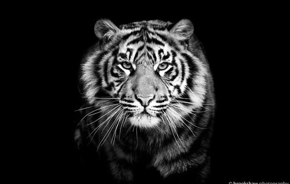 картинка черно-белая тигр