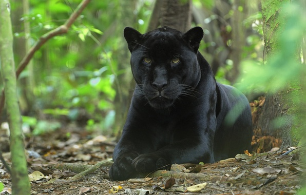 Картинка лес, кошка, морда, обои, хищник, пантера, джунгли, киска, чёрная, wallpaper, зверь, кошачьи, panthera