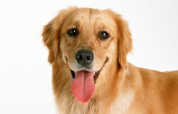 Картинка язык, морда, собака, пес, золотистый, ретривер