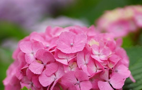 Картинка цветок, капли, роса, розовая, шапка, гортензия, соцветие