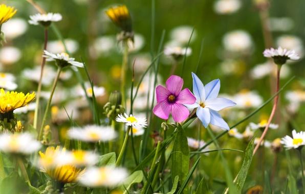 Картинка зелень, лето, трава, цветы, природа, поляна, ромашки, растения, размытость