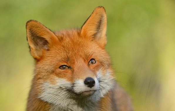 К чему снится лиса Сонник лиса