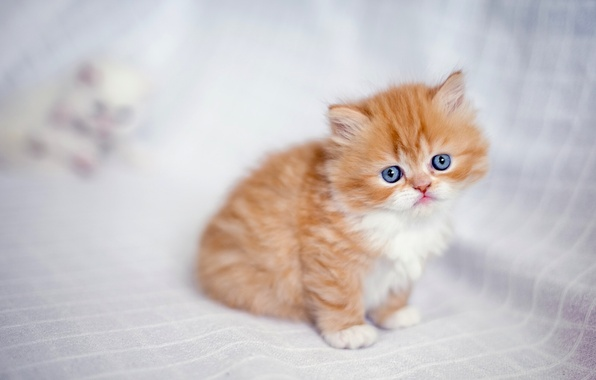 Картинка малыш, рыжий, котёнок, рыжий котёнок, персидская кошка