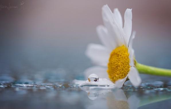 Картинка белый, цветок, вода, макро, цветы, желтый, роса, фон, widescreen, обои, капля, лепестки, ромашка, wallpaper, цветочки, …