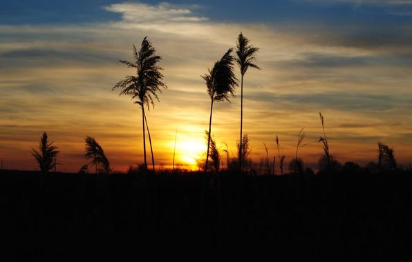 Картинка трава, облака, закат, природа, вечер, колоски, силуэт
