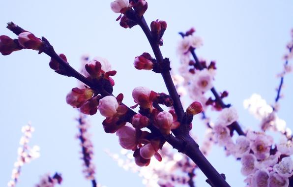 Картинка макро, цветы, ветки, природа, фото, фон, обои, растения, весна, лепестки, сакура, бутоны