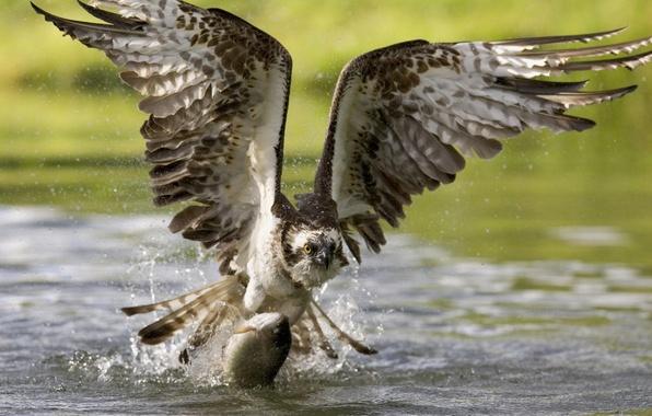 Картинка птица, обои, еда, крылья, рыба, клюв, wallpaper, охота, полёт, орёл, поймал