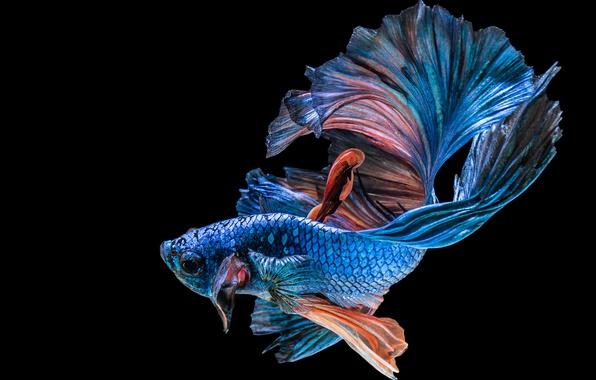 Картинка black, blue, fish