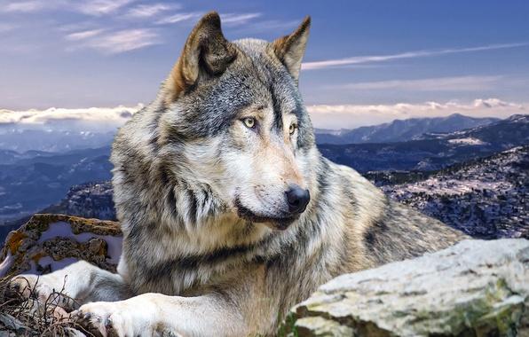 Картинки любовь волков