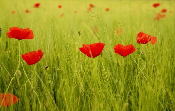Картинка зелень, поле, трава, листья, цветы, красный, фон, widescreen, обои, мак, маки, wallpaper, цветочки, широкоформатные, background, …
