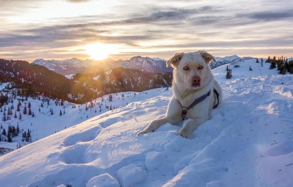 Картинка зима, снег, горы, природа, собака, Австрия, Альпы, пёс, Austria, Alps