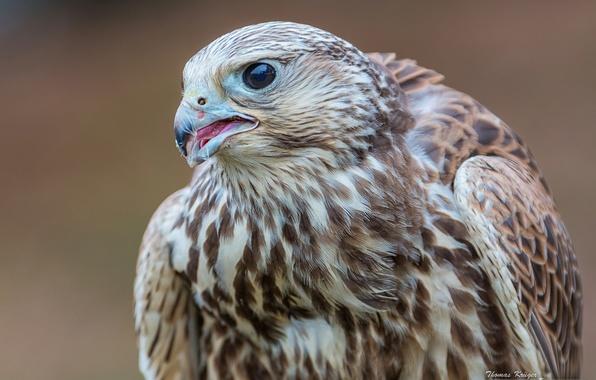 Картинка птица, сокол, Балобан