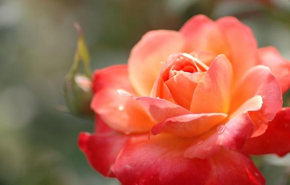 Картинка цветок, капли, макро, роза, растение, цвет, оранжевая, лепестки, бутон, красная, яркая
