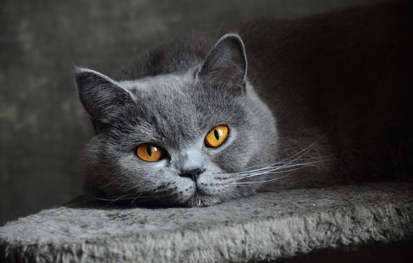 Картинка кошка, глаза, взгляд, серая, голубая, британская, короткошерстная