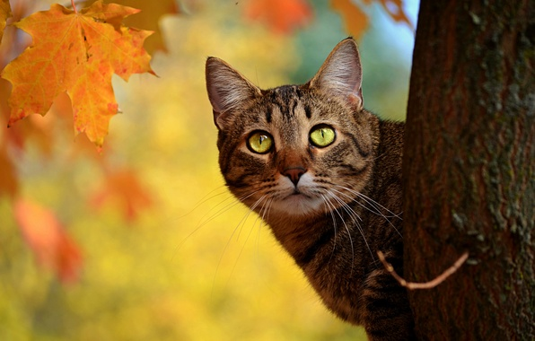 Картинка осень, кот, листья, дерево, желтые, ствол, клен, выглядывает