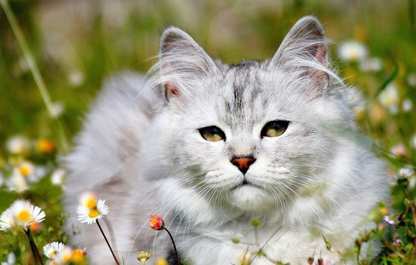 Картинка белый, трава, кот, ромашки