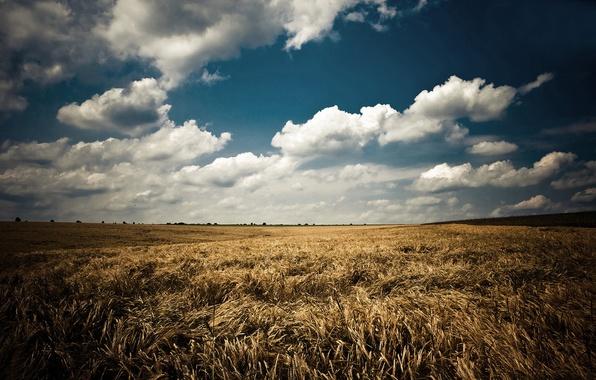 Картинка поле, лето, небо, облака, пейзаж, природа, колосья, синее