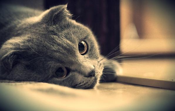 Картинка глаза, кот, взгляд, серый, британский, котэ, британец