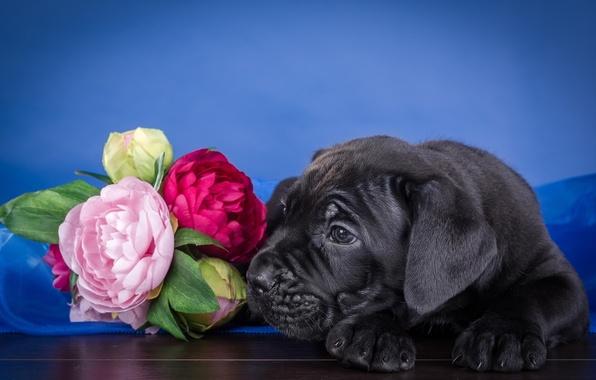 Картинка цветы, щенок, кане-корсо