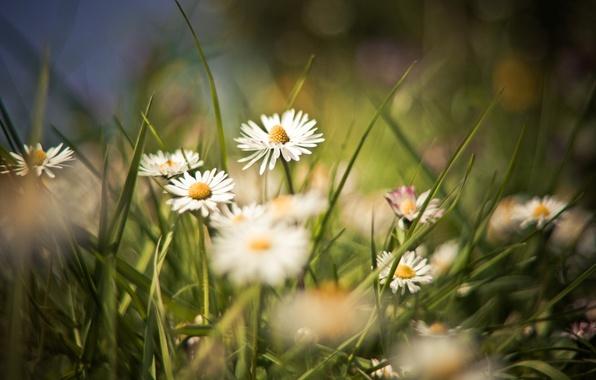 Картинка поле, лето, трава, цветы, фон, обои, поляна, ромашки, растения