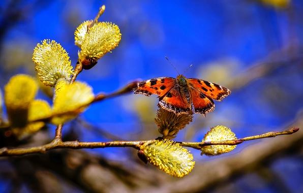Картинка небо, природа, бабочка, ветка, весна, верба