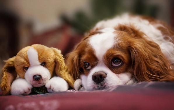 Картинка взгляд, игрушка, собака, мордочка, щенок