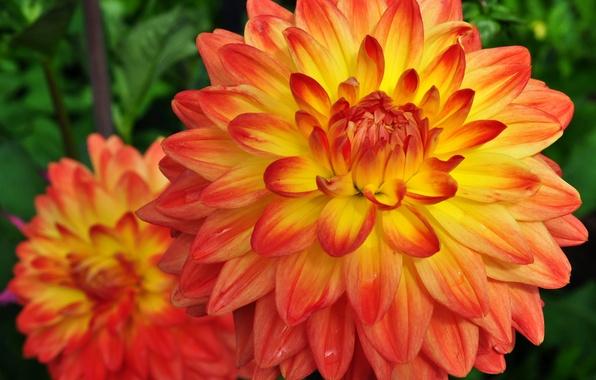 Картинка фото, Цветы, Оранжевый, Два, Георгины