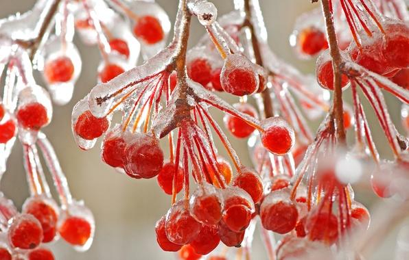 Картинка зима, макро, ветки, ягоды, лёд, мороз, красные, холодно
