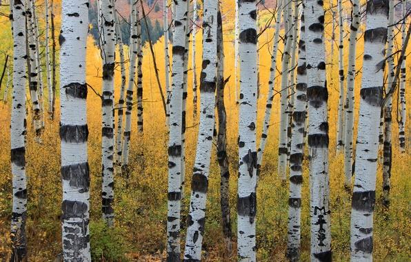 Картинка осень, деревья, стволы, осины