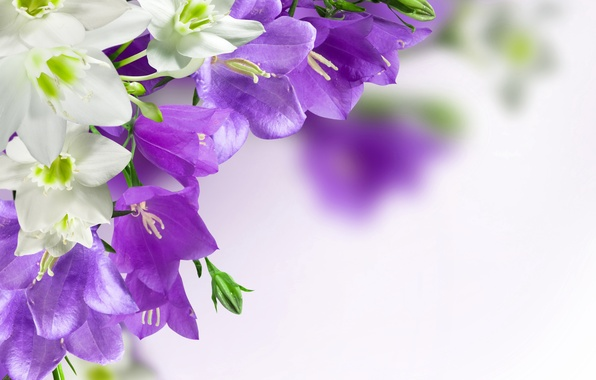 Цветы колокольчики фиолетовые обои