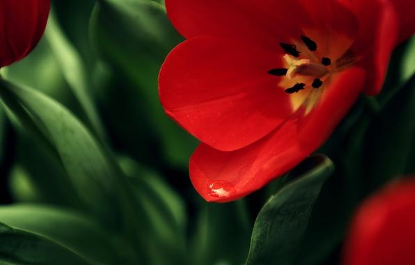 Картинка цветок, красный, фон, мак