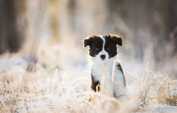 Картинка зима, взгляд, собака, щенок