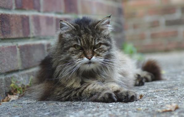 Картинка кошка, взгляд, улица, лежит, серая, сердитый