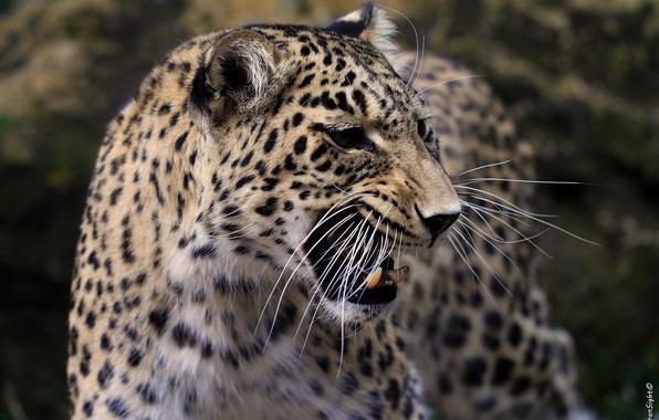 Картинка усы, морда, злость, хищник, ярость, пасть, леопард, клыки, оскал, злой, профиль, агрессия, дикая кошка, рык, …