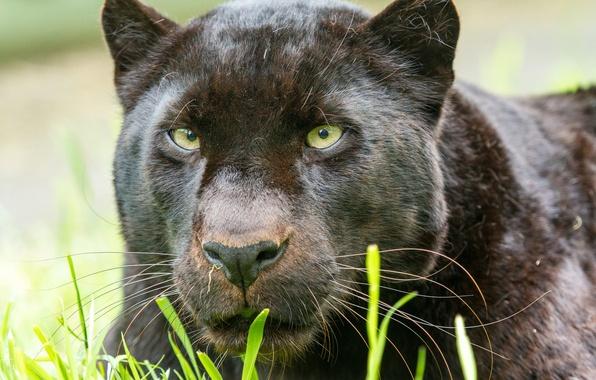Картинка кошка, взгляд, морда, пантера, леопард