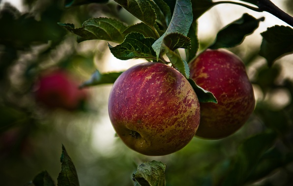 Картинка ветки, дерево, листва, яблоки, фрукты, яблоня