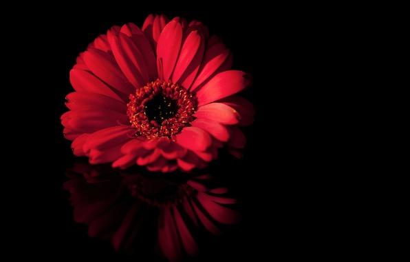 Картинка цветок, макро, красный, отражение, черный, лепестки